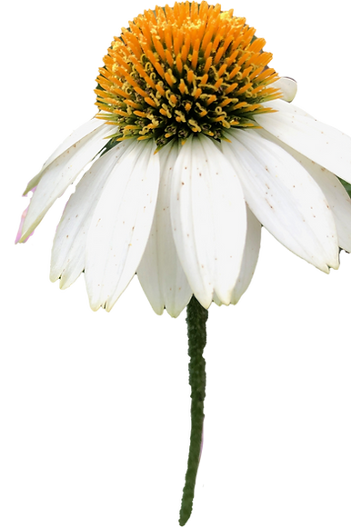 White Coneflower.png