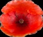 Red poppy.png