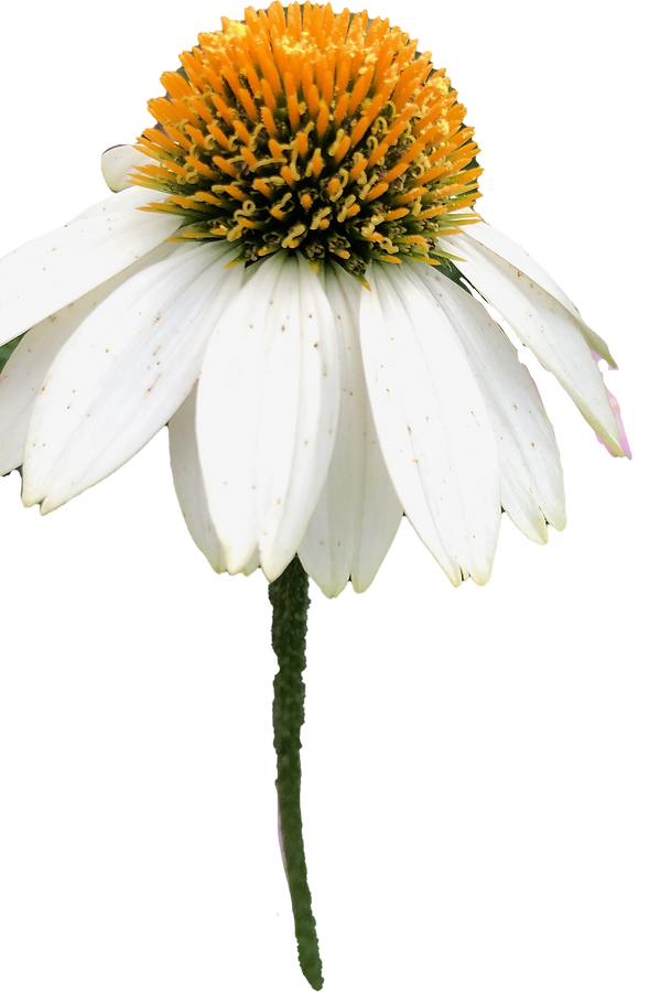White%20Coneflower_edited.png