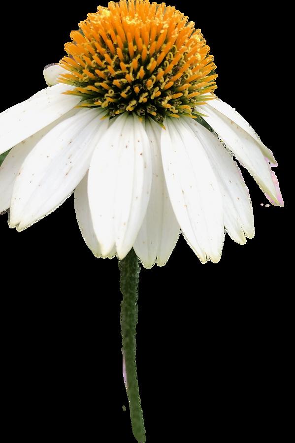 White%20Coneflower_edited.png