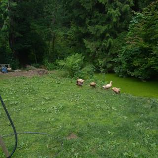 Ducks at the pond.jpg