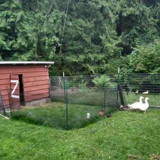 Geese and Turkeys.jpg