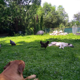 Dexter, Jez and Chickens.jpg