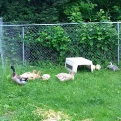 Ducks, Geese & Turkeys.jpg