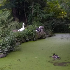 Geese checking out the pond.jpg