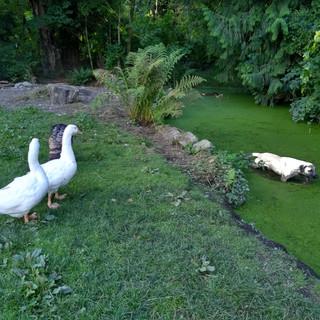 Geese watching Riddick in their pond.jpg