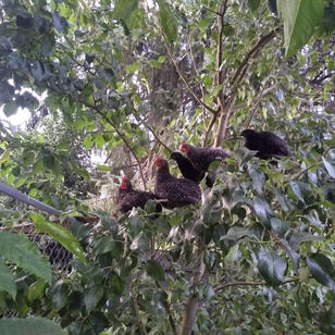 Chickens in the tree.jpg