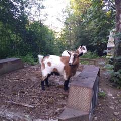 The goats.jpg