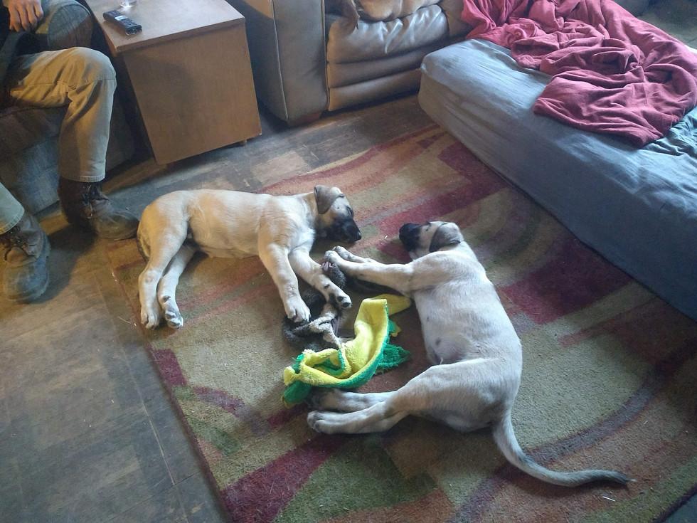 Riddick & Shep, 11 weeks.jpg