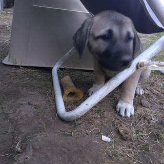Female pup
