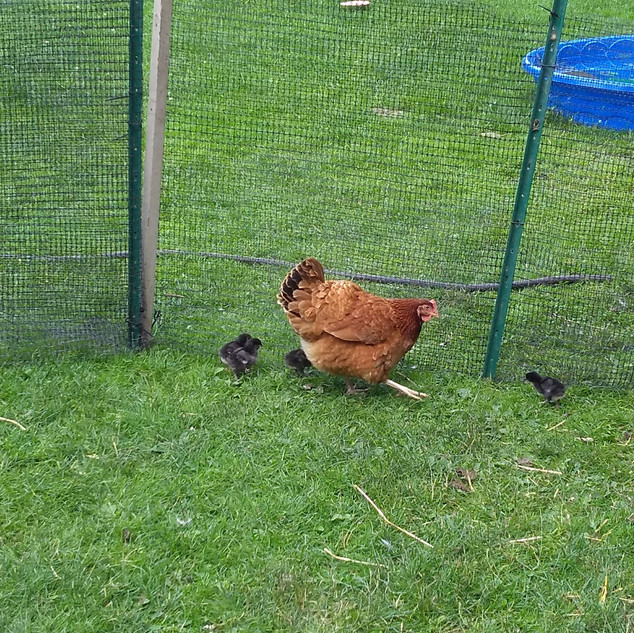 Mama hen and her chicks.jpg