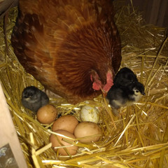 Newly hatched chicks and mama .jpg