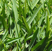 St. Augustine Grass.jpg