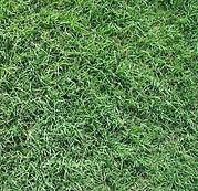Celebration Bermuda Grass.jpg