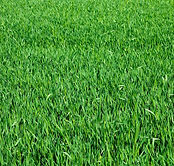 Centipede Grass.jpg