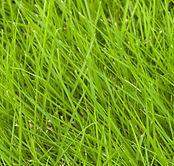 Zoysia Grass.jpg