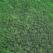 Tiff Bermuda Grass.jpg