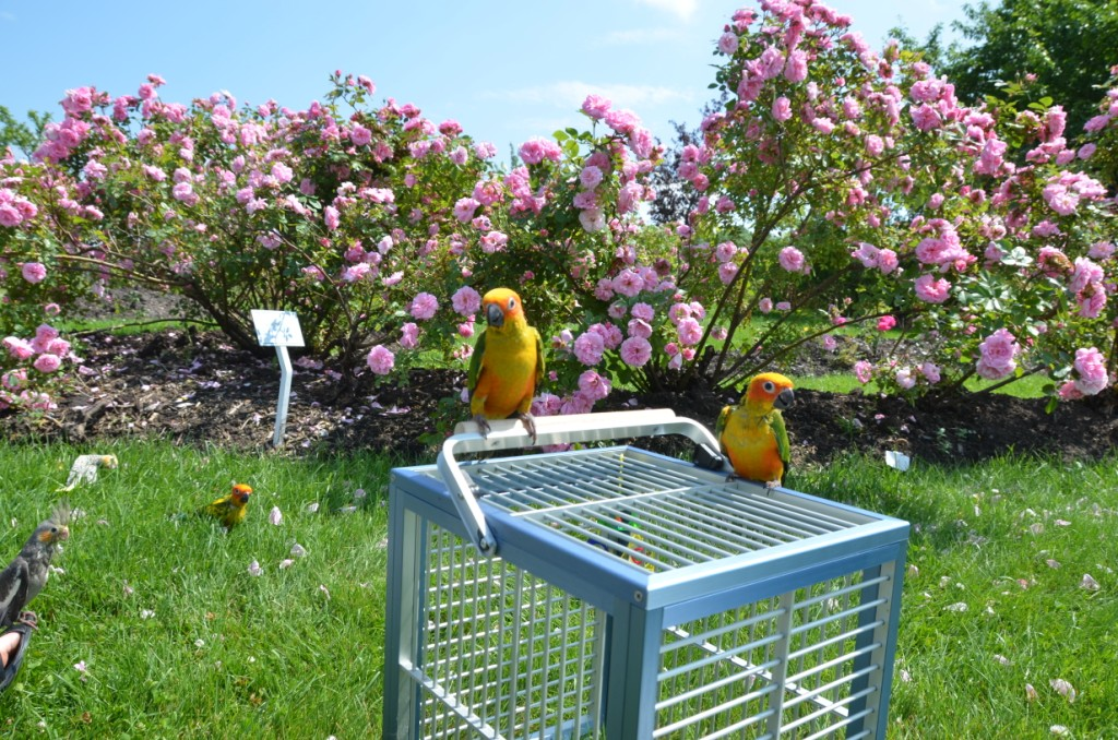 Promenades avec les perroquets
