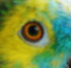 Amazone à front bleu - Oeil