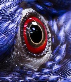 Lori arc-en-ciel oeil