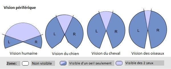 Vision périférique comparatif