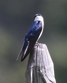 2020-06-11-Farragut-518a Tree Swallow.JP