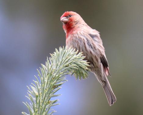 06 June - House Finch Male