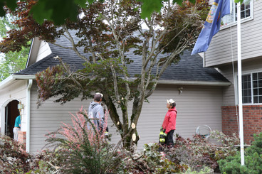 Maple Tree going down