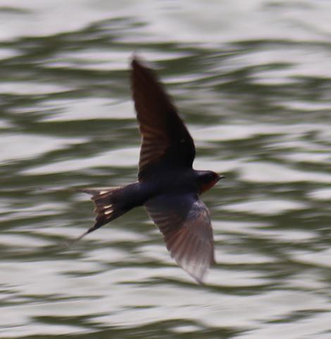 06 June - Barn Swallow