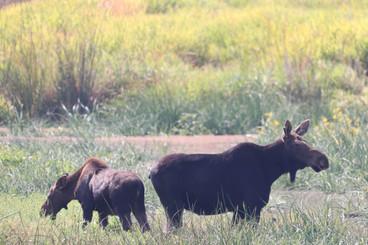 Baby & Mama Moose at Turnbull