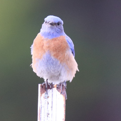 05 May - Western Bluebird