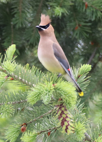 06 June - Cedar Waxwing