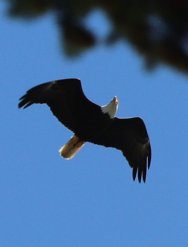 06 June - Bald Eagle