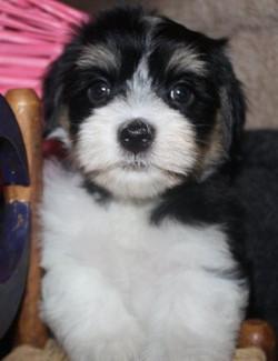 2012-12-22 Kimmie-Barron pups - female - BB