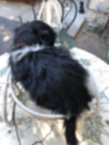 2019-08-21 Havanese Lexie-Hanz male Jake