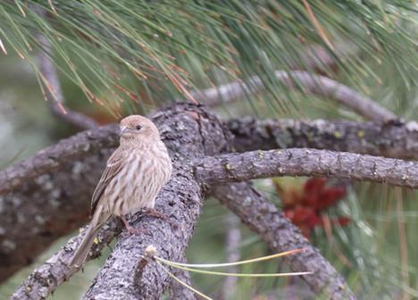 06 June - House Finch Female
