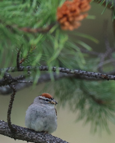 06 June - Chipping Sparrow