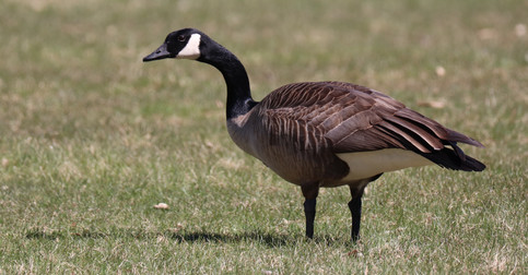 04 April - Canada Goose