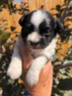 2019-09-17 Havanese Pi-Ms Lipps male4 00