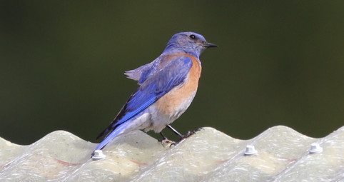 05 May - Western Bluebird Male