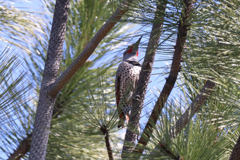 04 April - Red Shafted Northern Flicker Male