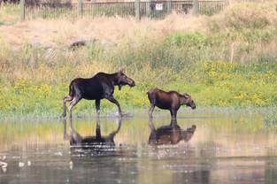 Mama & baby Moose at Turnbull
