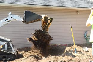Maple tree stump day 2