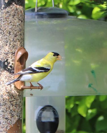 06 June - American Goldfinch