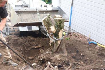 Maple tree stump