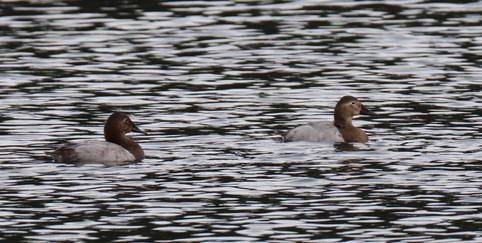 01 Jan - Canvasback Duck