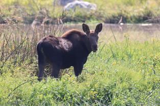 Baby Moose at Turnbull