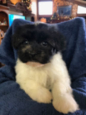 2019-12-16 Havanese Nepo-Pi female Dolly