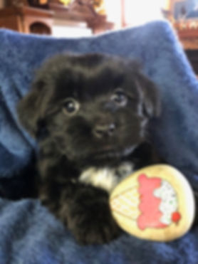 2019-12-16 Havanese Nepo-Pi female Cooki