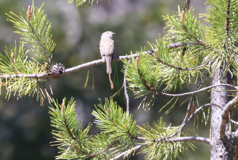 05 May - Least Flycatcher
